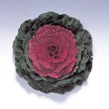 color up hybrid ornamental cabbage seeds