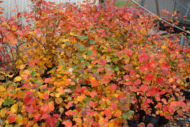 list of ornamental shrubs with pictures garden shrubs