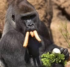 gorillas u0027 diet may ward off cancer the hindu