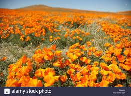antelope valley california poppy reserve california state park