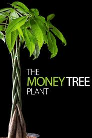 making the most of your money tree plant http www ambius com
