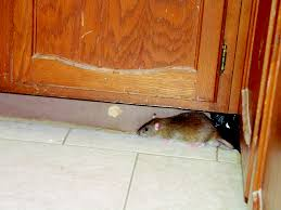 Kitchen Cabinet Bugs How To Get Rid Of Rats In Kitchens