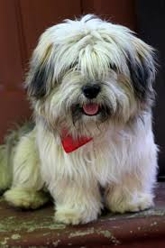 adopt ruger on lhasa apso lhasa and happy dogs