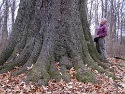 native plants to illinois illinois issues state u0027s oaks squeezed out by other species npr