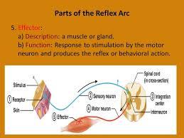 Motor Reflex Arc Reflex Physiology Reflex Arc The Reflex Arc Governs The Operation