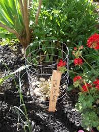 bunny tails ornamental grass the solano sun anr blogs