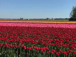 tulip fields two new review for field guide and reading in