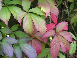 plants native to virginia growing virginia creeper vine gardening channel