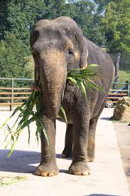 The Blind Men And The Elephant Analysis How Anne The Abused Elephant Is A Happy Old Lady Thanks To Daily