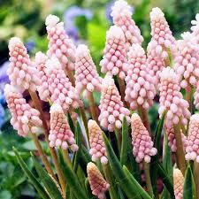 grape hyacinths bulb bonsai courtyard plant indoor plant natural