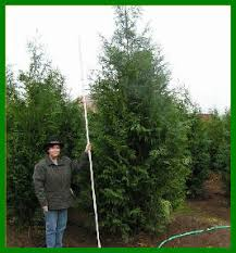 Backyard Privacy Trees Selecting The Right Privacy Tree