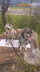 belgian shepherd kempsey view all dogs for sale in australia