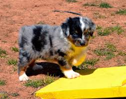 australian shepherd puppies near me quality toy australian shepherd puppies for sale located in utah