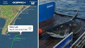 mary lee the great white shark spotted along jersey shore nbc