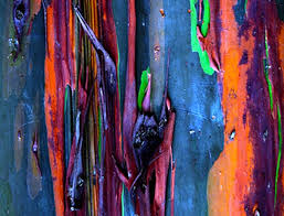 Rainbow Eucalyptus 25 Cool Eucalyptus Tree Ideas On Pinterest Rainbow Eucalyptus