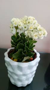 how to grow kalanchoe 15 steps with pictures wikihow