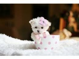 affenpinscher maltese mix maltese puppies for sale florida we ship mixes u0026 maltese