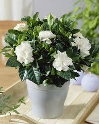 Gardenias by Garden Design Garden Design With Gardenia Care With Landscaping