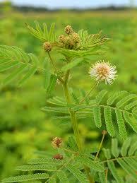 illinois native plant guide desmanthus illinoensis illinois bundle flower prairie moon nursery