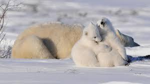 life cycle polar bears international