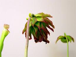 houston native plants carnivorous plants in texas