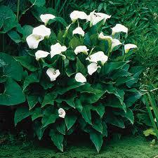 cala lilly calla zantedeschia hybrid my garden
