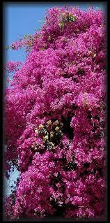 330 best bougainvilleas images on pinterest bougainvillea