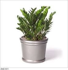 low light plants for office zamioculcas common name zanzibar gem is a genus of flowering