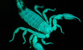 is there a black light app that works why did scorpions evolve to glow under uv light the daily mail online