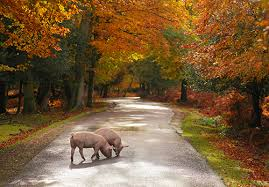 new forest images image pigs on bolderwood ornamental drive