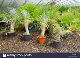 small palm trees yucca rostrata for sale in an