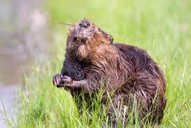 beaver facts animal facts encyclopedia