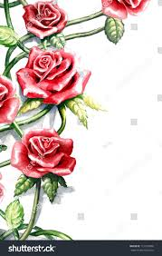 climbing rose watercolor painting isolated on stock illustration