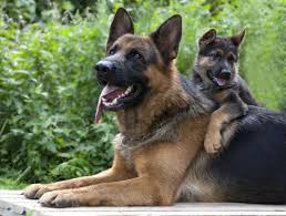 belgian shepherd vs doberman the 10 most commonly stolen dog breeds u2013 iheartdogs com