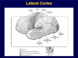 Anterior Association Area Temporal Lobe Epilepsy The Current State Of Knowledge