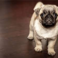 flooring what is the best laminate flooring for dogs with do