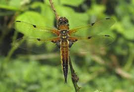 dragonfly and damselfly identification help british dragonflies