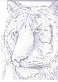tiger pencil sketch by finchwing on deviantart