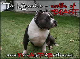 american pitbull terrier qualities newage pitbulls xtreme xl xxl gottiline blue nose bully pitbull