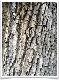 Cottonwood Tree Flowers - plains cottonwood tree identification identifying populus sargentii