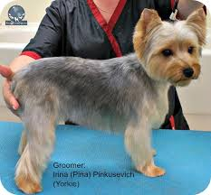 pictures of puppy haircuts for yorkie dogs i want a puppy cut be a better groomer