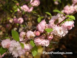 plantpostings plant of the month flowering almond