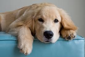 belgian sheepdog golden retriever mix golden retriever dog names dogtime