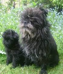 affenpinscher dog names emma u0027s new favorite dog she says it looks like real life teddy