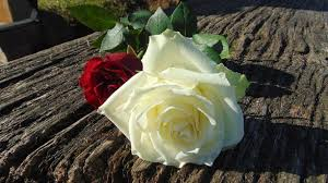 different color roses what do different color roses symbolize real reviews