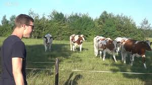 cows reacting to my cow call how to gather cows under 1 min