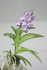 vanda orchids growing vanda orchid learn about the care of vanda orchids
