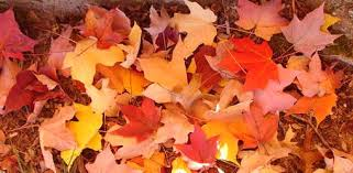 trees to plant for colorful fall foliage today s homeowner