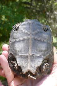 Turtle Planter 99 Best Tortoise Love Images On Pinterest Tortoises Animals And