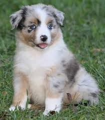 australian shepherd x puppies for sale lobo u0027s australian shepherds